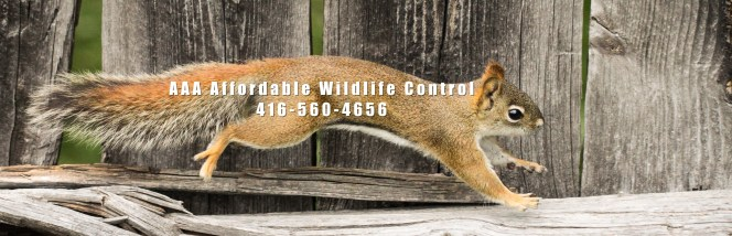 Squirrel Removal Toronto, Squirrel Control, Wildlife Removal, Animal Removal Toronto