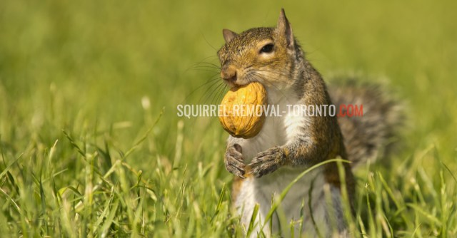 Squirrel Removal Toronto, Squirrel Control Toronto, Wildlife Control, Squirrel Removal, Animal Removal Toronto