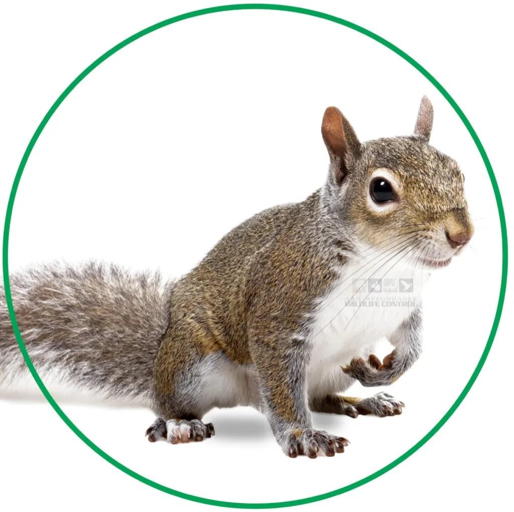 Squirrel Removal Toronto Cost