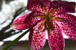 Fritillaria close up