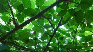green blackberry tunnel