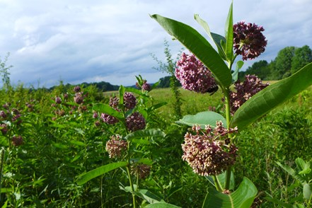 more common milkweed