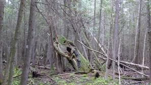 large, old cedar