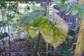 blackberry colors