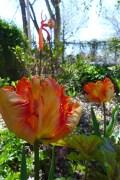 Professor Rontgen tulip and glass art