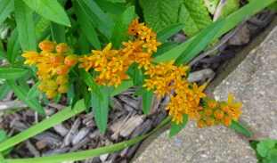 butterfly weed