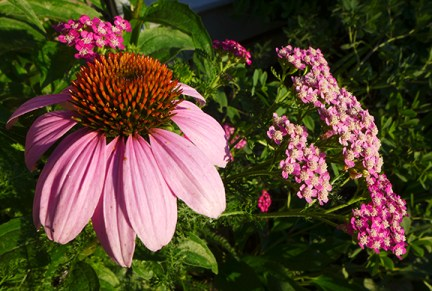 purple coneflower and yarrow