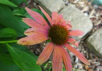 "coneflower ""Julia"""