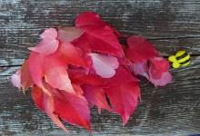 the reddest leaves