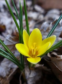 yellow crocus with white tips