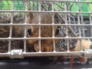 marietta squirrel trappers