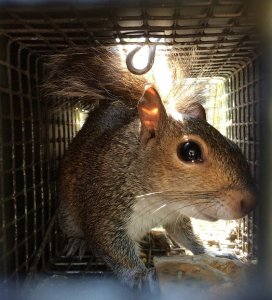 squirrel trapped [location]