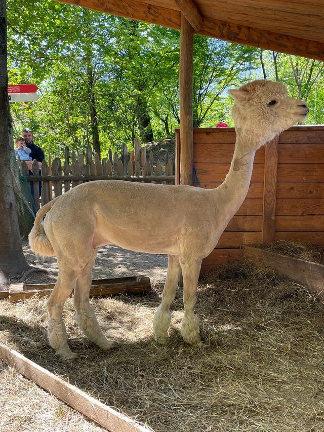 Nei Giardini di Castel Trauttmansdorff trovi due alpaca