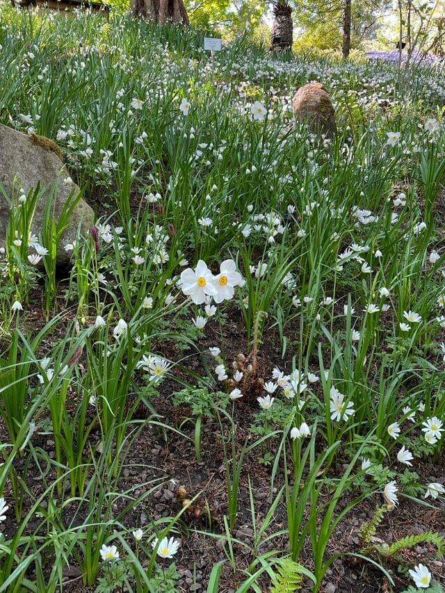 In primavera trovi tanti narcisi nei giardini di Castel Trauttmansdorff