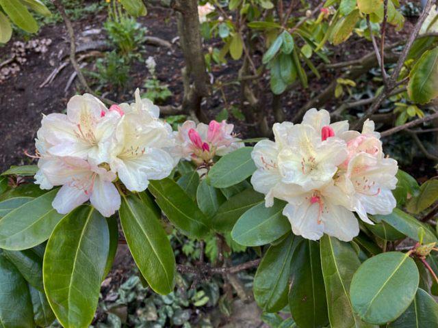 I giardini Trauttmansdorff a Merano hanno tanti rododendri