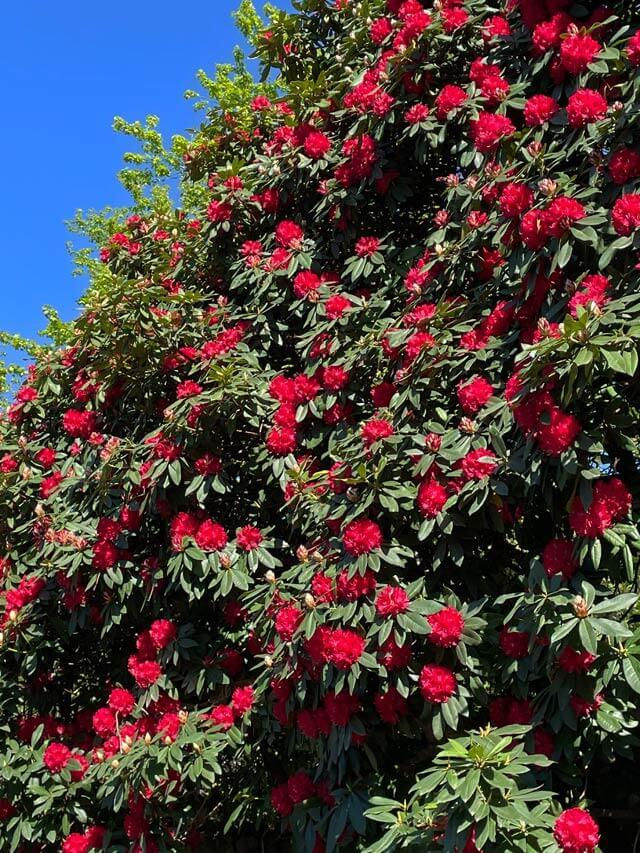 I Giardini Trauttmansdorff in primavera hanno tanti rododendri in fiore