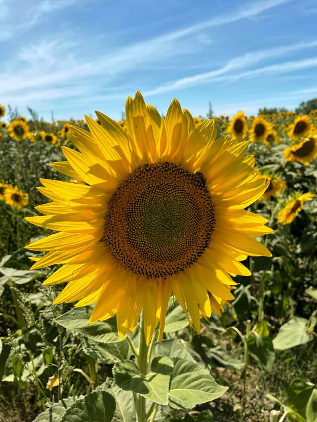 I campi di girasoli sono da fotografare in Romagna d'estate