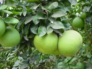 pompelmoestree