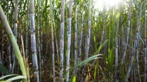 suikerriet02