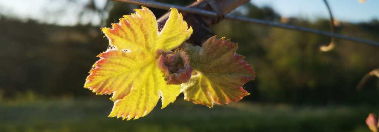Vigne stade 2 feuilles