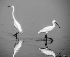 Little egret and Eurasian spoonbill