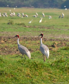 Sarus Cranes, Keoladeo National Park, Bharatpur, Rajasthan (India)
