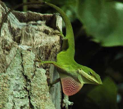 Image result for male anoles fighting