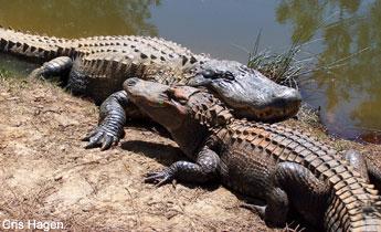 Image result for alligators