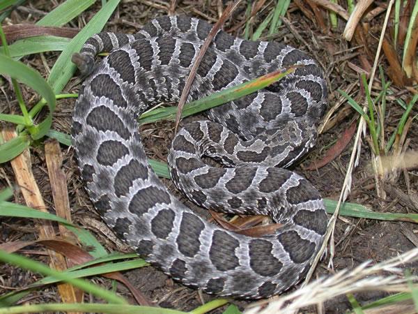 Non Snakes Poisonous York New