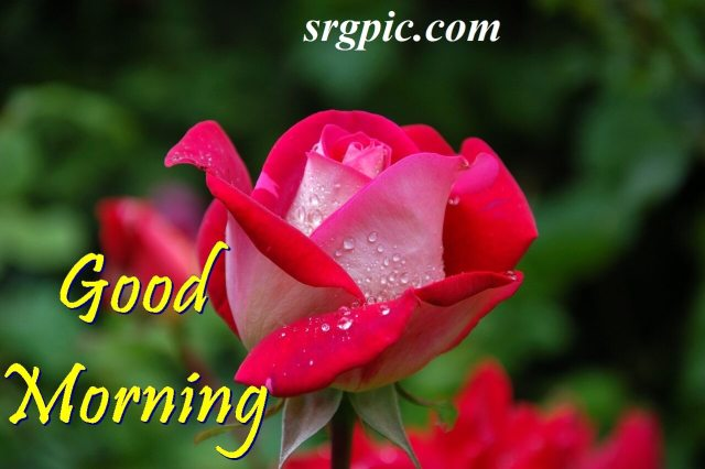 red-garden-positive-morning-quotes
