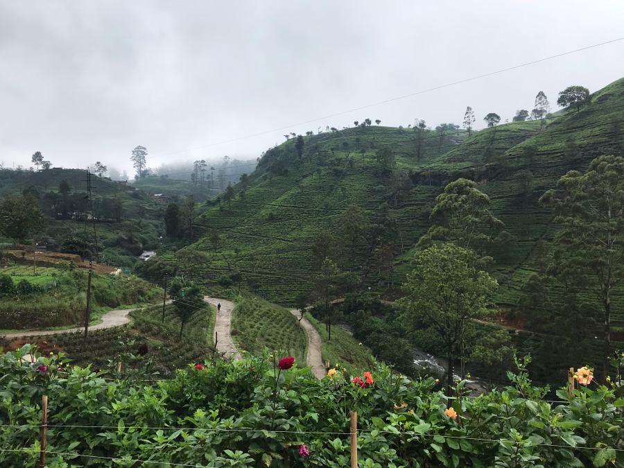 スリランカ ヌワラエリヤ 茶畑