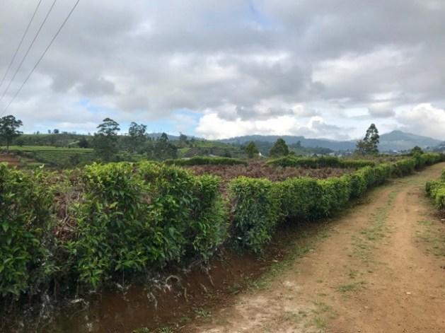 ヌワラエリヤの茶畑 散歩
