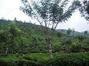Haputale Tea Estates Haputale Sri Lanka Island Tours