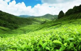 Nuwaraeliya day tour