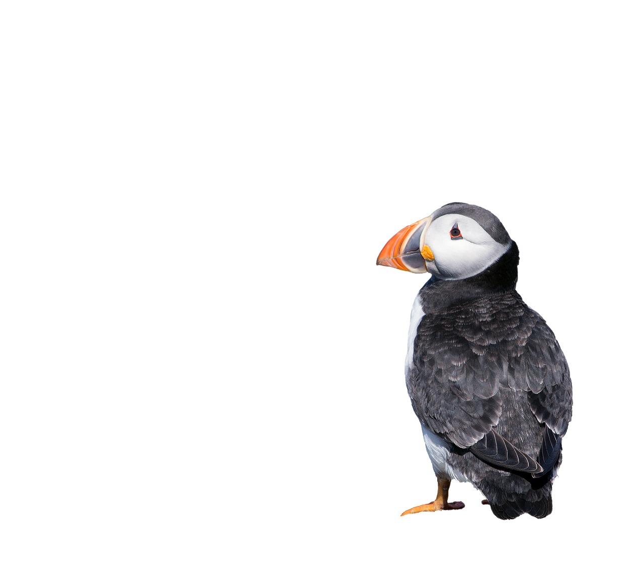 Puffin on white backdrop