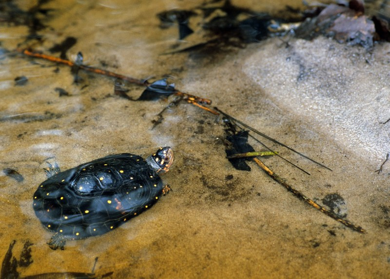 bwilson-spottedturtle