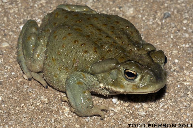 Bufo alvarius: Sonoran Desert Toad. Adult from SE Arizona. Photo by Todd Pierson