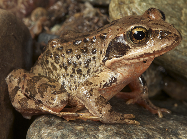 a study of the history of frogs The frogs of the family ceratophryidae the value of life history data in the study of the evolution of the south american journal of herpetology 9:3.