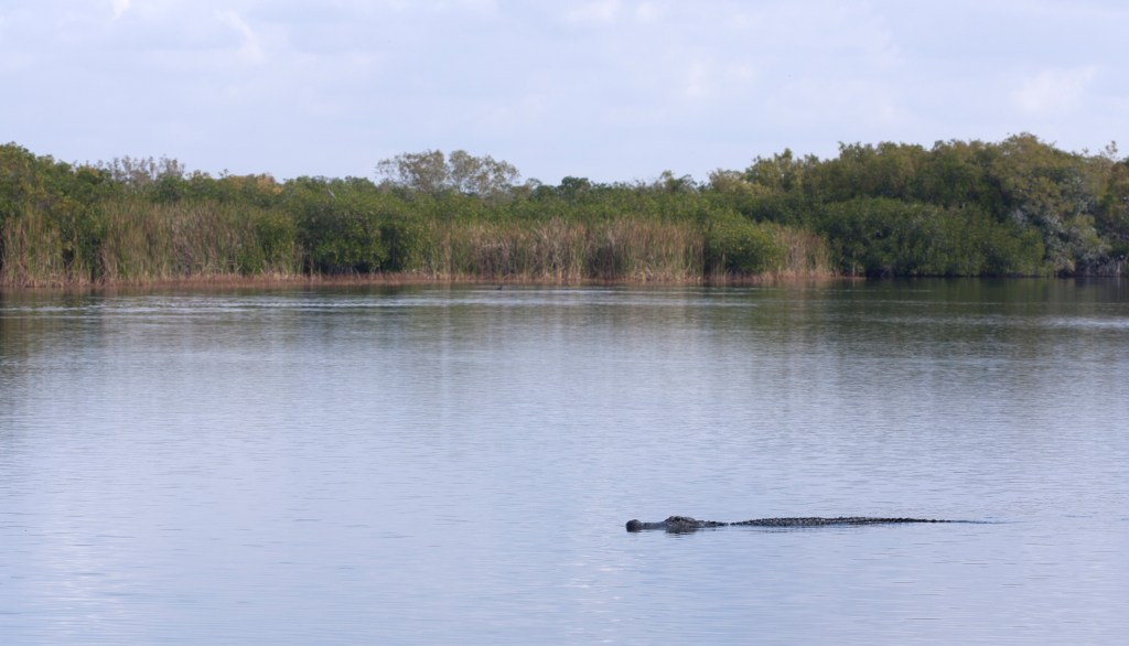 Alligator_mississippiensis_3