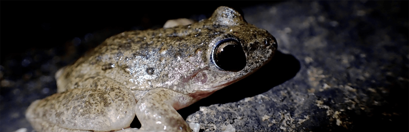 Behind the Scenes Pt. 8: Rediscovering the New England Tablelands Booroolong Frog