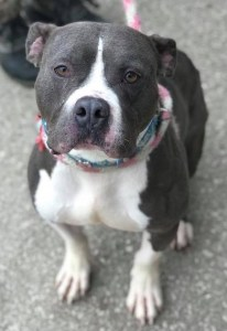 Petey the pittie is ready to find his home! Check out his video