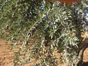olive6.jpg