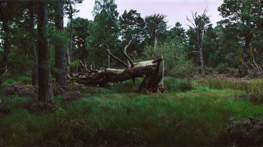 Chrystel Lebas, Re-visiting Pinus silvestris [illeg.] Plate n°1245, Aviemore, Rothiemurchus, August 2012. 57°8.691' N 3°50.304' W