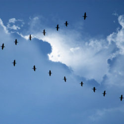 birds in the sky,flying in formation