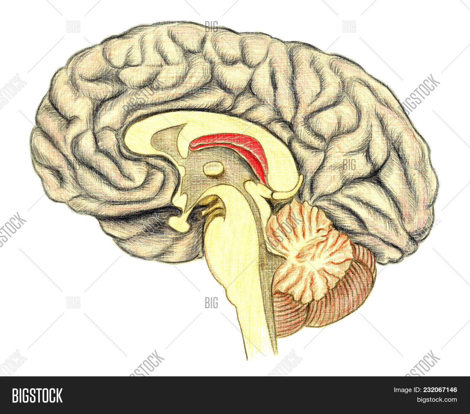 Human Brain Side View Hand Drawn Medical Illustration