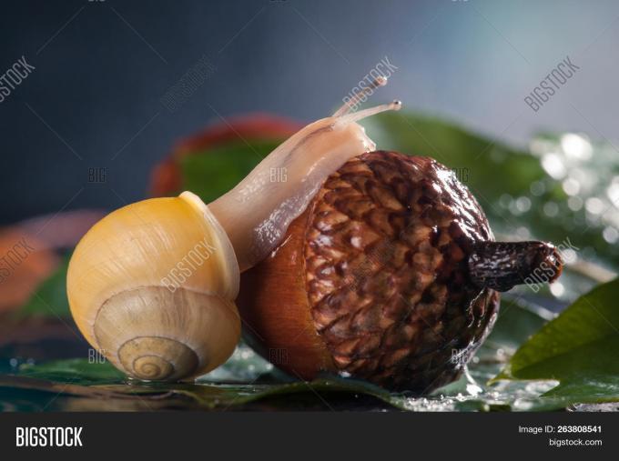 Magic Snail Creeps On A Acorn Close Up Macro Side View Image Stock Photo 263808541