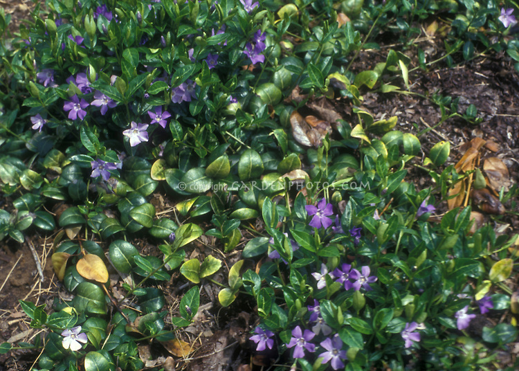 Home Depot Ground Cover Plants