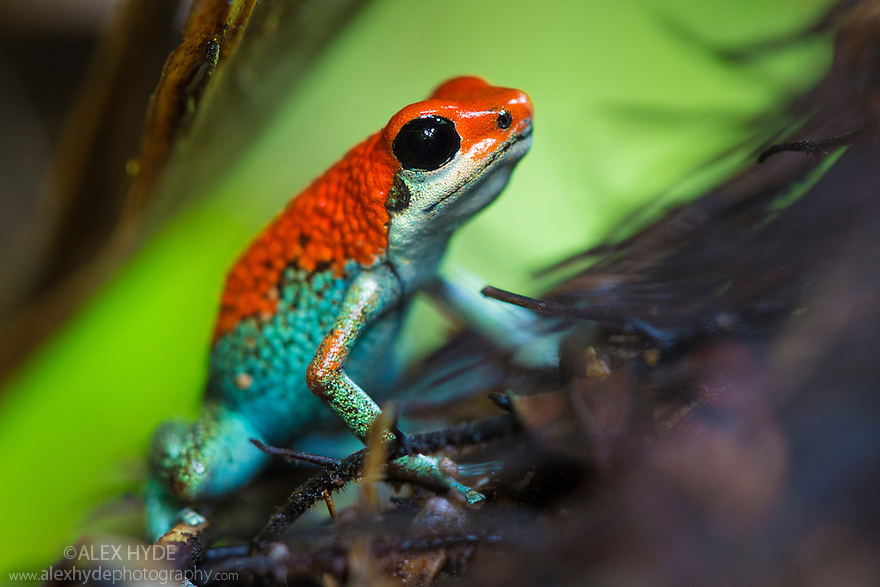 Poison Dart Frog Warning Coloration