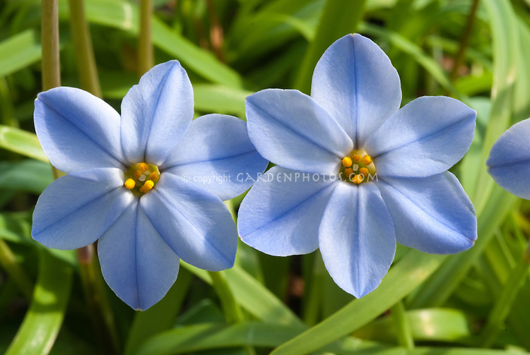 Blue Flowers  amp  Plants Stock Photos   Images   Plant   Flower     Ipheion  Rolf Fiedler  blue flowers in spring blooms