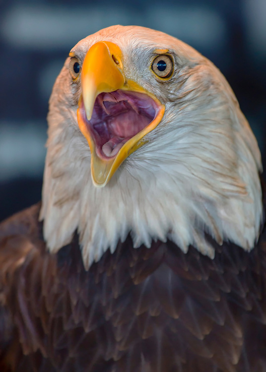 What Does The Bald Eagle Symbolize The Best Eagle Of 2018